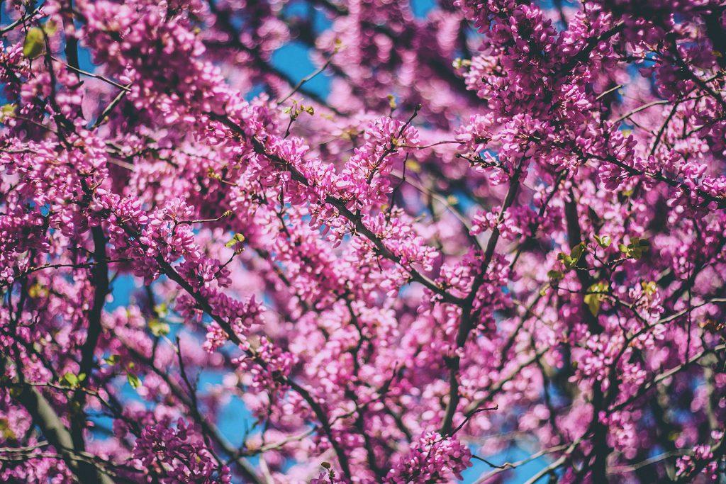 spring- purple flowers